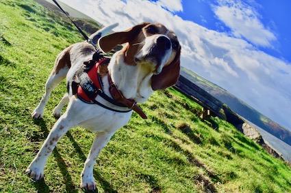 Beagle Dog Holiday Blog - Day Three, Morgan Beach, Cardigan Castle, Cilgerran Castle, Poppit Sands and Tresaith.