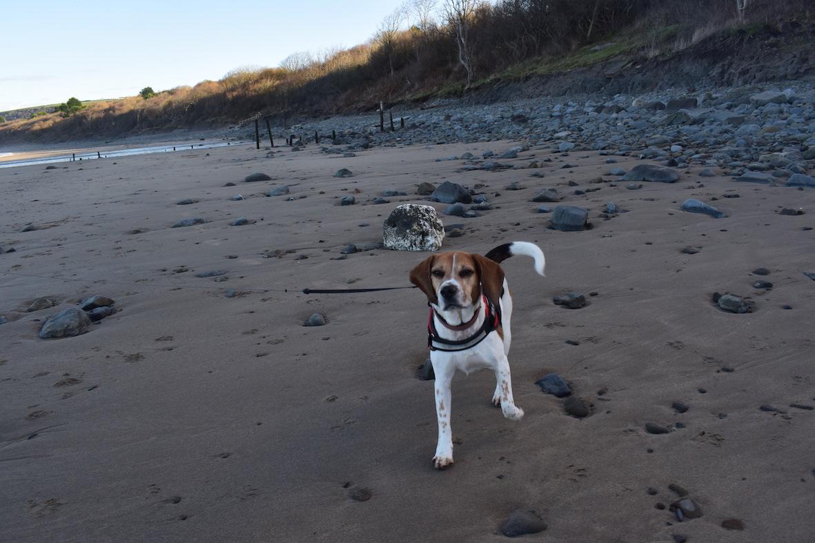 Beagle Dog Holiday Blog - Day Four, New Quay