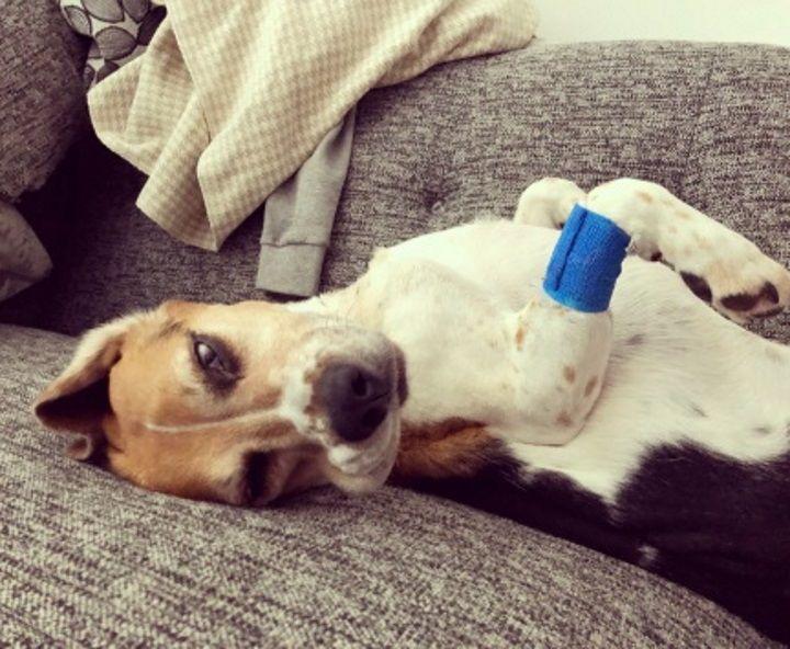 Tonsil-Beagle-Tis